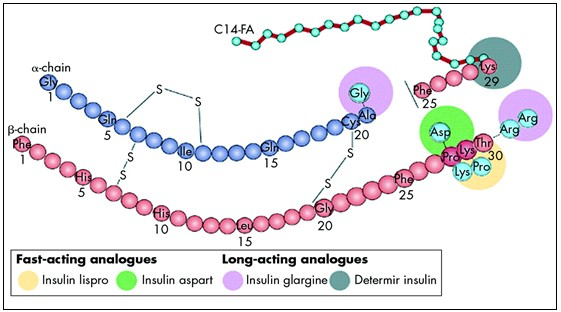 Structure of insulin and the site of actions of insulin analogues