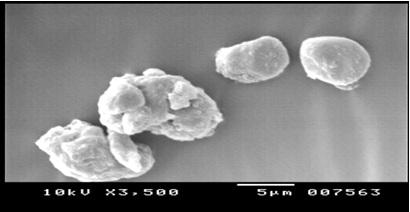 Scanning electron micrographs of xyloglucan microspheres