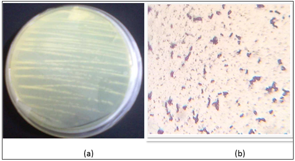 (a) Yellow color colonies of isolate on agar plate having Wakimoto media. (b) Gram staining of the isolate showing violet colored rod shaped cells